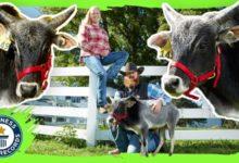 Photo of Nejmenší býk na světě je vysoký 67,6 cm, nejmenší kráva 61,1 cm
