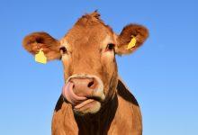 Photo of 7% dospělých Američanů věří, že čokoládové mléko pochází zhnědých krav