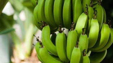 Photo of Proč mají banány tak typicky zahnutý tvar?