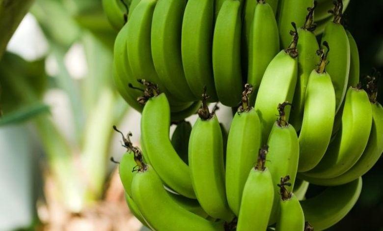 Jak rostou banány