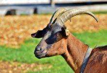 Photo of Kozlové si močí na hlavu, aby byli pro kozy přitažlivější