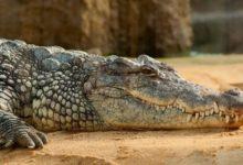 Photo of Krokodýl nemůže vypláznout jazyk