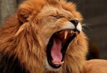 Photo of Lví řev je možné slyšet až na vzdálenost 8 kilometrů