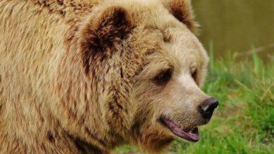 Photo of Ruští medvědi jsou závislí na čichání benzínu aženou se kvůli němu za vrtulníky