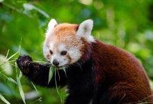 Photo of Logo prohlížeče Firefox ve skutečnosti není liška, ale panda červená