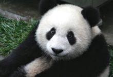 Photo of Pandy mohou těhotenství jen hrát