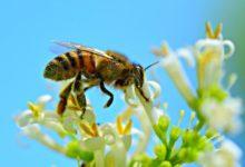 Photo of Včely se mohou opít zfermentované mízy ze stromů