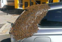 Photo of 20 tisíc včel 2 dny létalo za autem, ve kterém byla uvězněna jejich královna