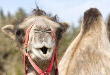 Photo of Vědci objevili, že běžnou rýmou nás poprvé nakazili velbloudi