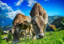 Photo of Krávy produkují 40% metanu ve vzduchu aurychlují globální oteplování