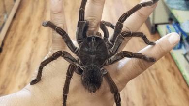 Photo of Největší pavouk světa měří 30 cm aživí se ptáky ikřečky
