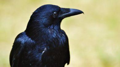 Photo of Vrány si velmi dobře pamatují lidské obličeje i staré křivdy
