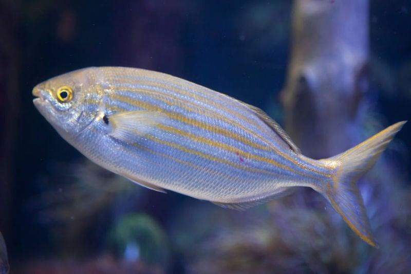 halucinogenni ryba