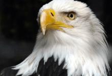 Photo of Abyste mohli vUSA sebrat pírko orla bělohlavého, tak potřebujete povolení