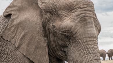 Photo of Sloní mozek váží 5kg aje největší ze všech suchozemských živočichů