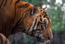Photo of Tygr je jediný predátor, který si dovolí ina dospělé medvědy