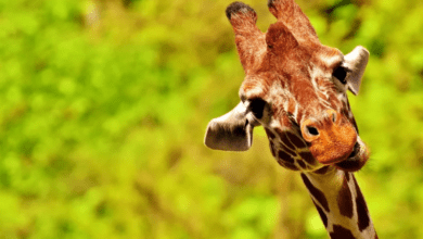 Photo of Žirafí samec se před pářením napije samičí moči