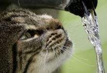 Photo of Kočky mají tak efektivní ledviny, že mohou pít mořskou vodu