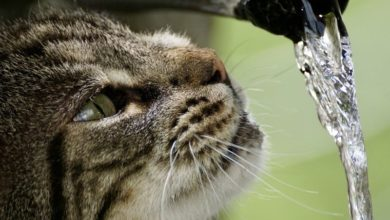 Photo of Kočky mají tak výkonné ledviny, že mohou pít mořskou vodu