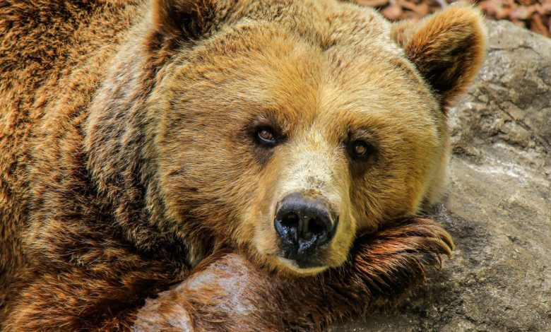 medved grizzly