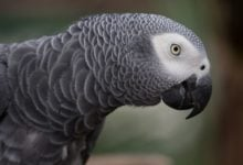 Photo of Papoušek Alex je jediné zvíře, které se kdy zeptalo na existenciální otázku. Zeptal se na svoji barvu