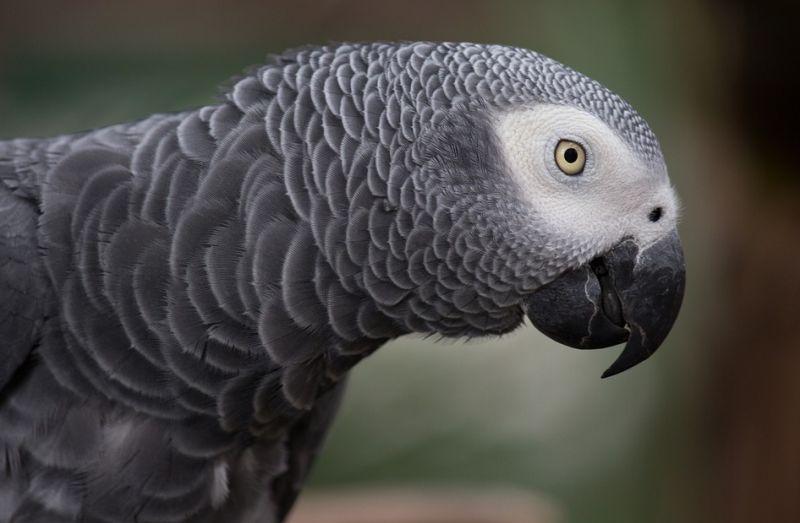 sedy papousek