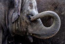 Photo of Ve sloním chobotu je přes 40000 svalů. To je mnohonásobně více, než vcelém lidském tělě