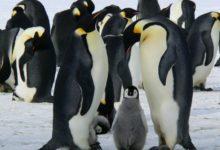 Photo of Tučňáci spí nejtvrději poobědě. Vědec na to přišel šťoucháním klackem do spících tučňáků