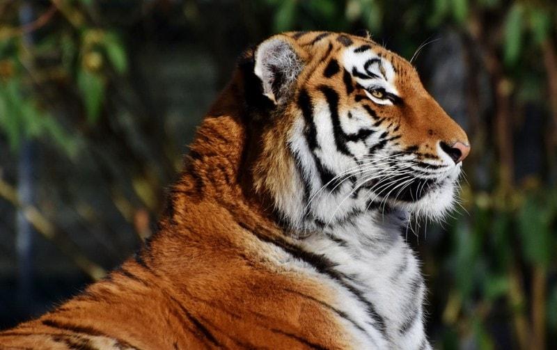 tygr v zajeti
