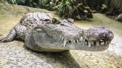 Photo of Krokodýlovi velmi rychle doroste vypadlý zub aza život jich vystřídá klidně 8 tisíc