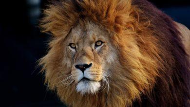 Photo of Tygři, lvi, kočky domácí ani jiné kočkovité šelmy necítí sladkou chuť