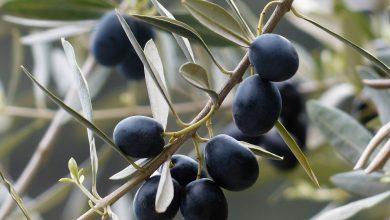 Photo of Černé azelené olivy jsou stejný druh. Liší se jen zralostí
