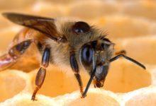 Photo of Včela vyrobí za život jen desetinu čajové lžičky medu