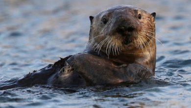 Photo of Vydry mořské mají vpodpaží kapsy zkůže, ve kterých nosí své oblíbené kameny