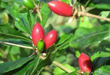 Photo of Po snědení zázračného ovoce bude kyselé ihořké jídlo chutnat sladce