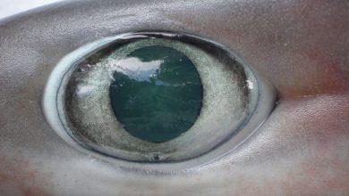 Photo of Žraloci mají oční víčka, ale nepoužívají je, protože voda jim oči přirozeně čistí