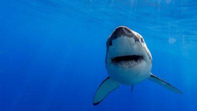 Photo of Žraločí zuby mají zabudovanou zubní pastu, takže netrpí na kazy