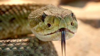 Photo of Hadi jsou imunní vůči vlastnímu jedu, ale ne vůči jedu jiných druhů