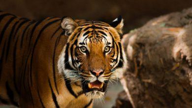 Photo of Tygr je během lovu úspěšný vméně než 10% případů
